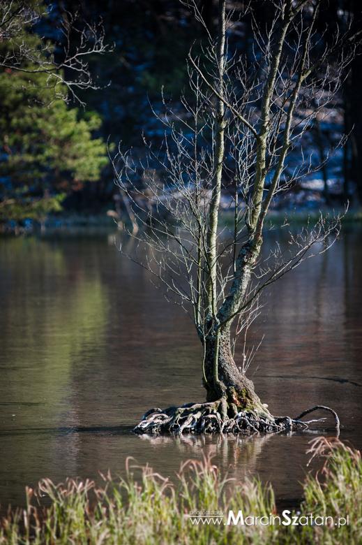 Drzewo wyrastajace z wody